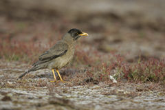 Falklands thrush, Turdus falcklandii falcklandii Royalty Free Stock Images