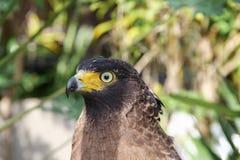 FalkPeregrine eller guld- örn, Closeup Arkivfoto