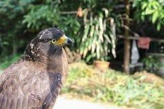 FalkPeregrine eller guld- örn, Closeup Royaltyfri Bild