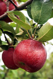Fall-Äpfel Stockfotografie