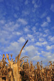 Fall. After the fall harvest of corn corn pole Royalty Free Stock Photography