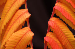 Fall. Branches of leaves on black background Stock Images