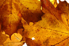 Fall. Close up photo of some maple fall leaves with back light Royalty Free Stock Photo