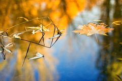 Fall. Maple leaf floating on lake. Trees and blue sky reflected in water Stock Photography