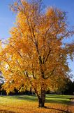 Autumn tree Stock Images