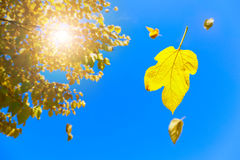 Fall. Image of yellow leaves falling off the tree with blue skies in the background Stock Photography
