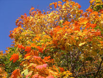 Fall. Autumn tree with red and yellow leaves on a background of the dark blue sky royalty free stock photo