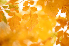 Fall. Yellow autumn-leaves, against bright sunlight Royalty Free Stock Images