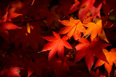 Fall Acer Palmatum Royalty Free Stock Photography