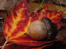 Fall acorn Royalty Free Stock Photos