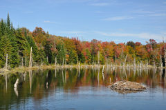 Fall at an Adirondack Beaver Pond. Colorful fall trees reflecting in a beaver pond with a beaver house Royalty Free Stock Photos