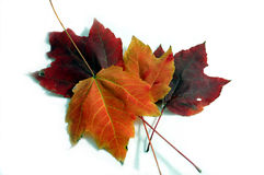 Fall-Ahornblätter Lizenzfreies Stockbild