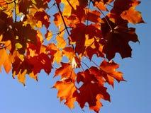 Fall-Ahornblätter und Himmel Stockfotografie