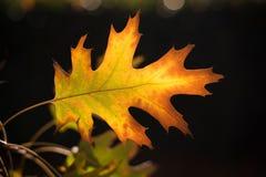 Fall-Ahornblatt Stockbild