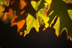 Fall-Ahornblatt Stockfoto