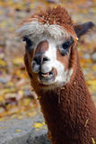 Fall Alpaca stock photo