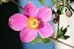 Fall Anemone, Anemone Hupehensis Royalty Free Stock Photos