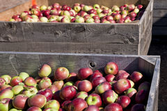 Fall Apple Harvest Stock Photography