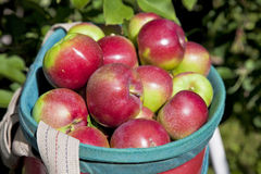 Fall Apple Harvest Royalty Free Stock Image