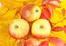 Fall apples Royalty Free Stock Images