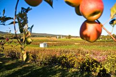 Fall Apples and Farm. A distant set of farm buildings framed in fresh apples on a tree Royalty Free Stock Photography