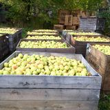 Yellow Apples In Big Wood Crates Stock Photos