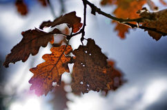 Fall is around the corner. Oak leaves against a cloudy sky Stock Images