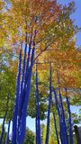 Fall Art Aspen Trees in Breckenridge Colorado. Blue Aspen Fall Trees Stock Photo
