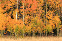 Fall aspen background in the Wasatch Mountains. Royalty Free Stock Images