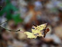 Fall Aspen Leaf. Fall aspen tree leaf hanging off Stock Image