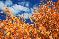 Fall Aspen Leaves. Orange fall Aspen leaves against a blue clouded sky Stock Image