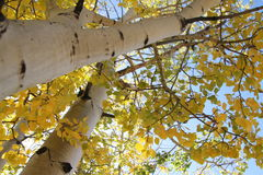 Fall aspen leaves Royalty Free Stock Images