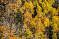 Fall Aspen Stock Images