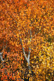 Fall Aspen Tree. Aspen tree in the fall with colorful orange leaves Stock Photography