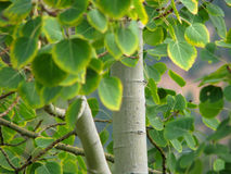 Fall Aspen Tree. Leaves starting to change colors on an aspen tree Royalty Free Stock Photos
