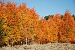 Fall Aspen Trees. Beautiful aspen trees with bright Fall leaves Stock Photos