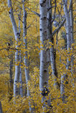 Fall Aspen Trees Stock Images