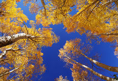 Fall Aspen Trees Stock Photography