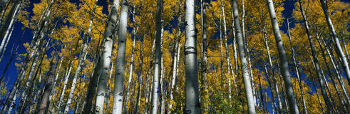 Fall aspen trees, CO Stock Photography