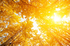 Fall Aspen Trees. From low angle view with golden sunlight, Leh District in the state of Jammu and Kashmir, India Stock Photos