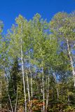 Fall aspen trees. In northern ontario canada Royalty Free Stock Photography