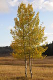 Fall Aspen twins. Two changing Aspen trees in meadow royalty free stock image