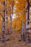 Fall Aspens 12 Stock Photography