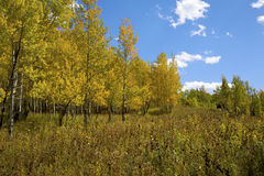 Fall Aspens Royalty Free Stock Photo