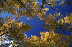 Fall Aspens Royalty Free Stock Photos