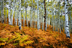 Fall Aspens. White Aspens with a Colorful Fern Ground Cover Royalty Free Stock Images