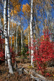 Fall Aspens 6. Aspens in full autumn color Stock Images