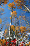 Fall Aspens 7. Aspens in full autumn color Stock Image