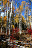 Fall Aspens 8. Aspens in full autumn color Royalty Free Stock Photography