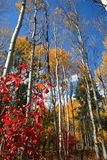 Fall Aspens 9. Aspens in full autumn color Stock Photography